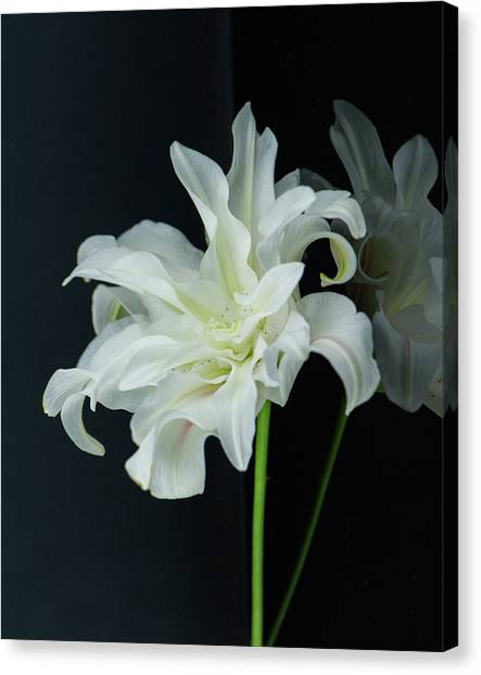Lily Reflected Canvas Print