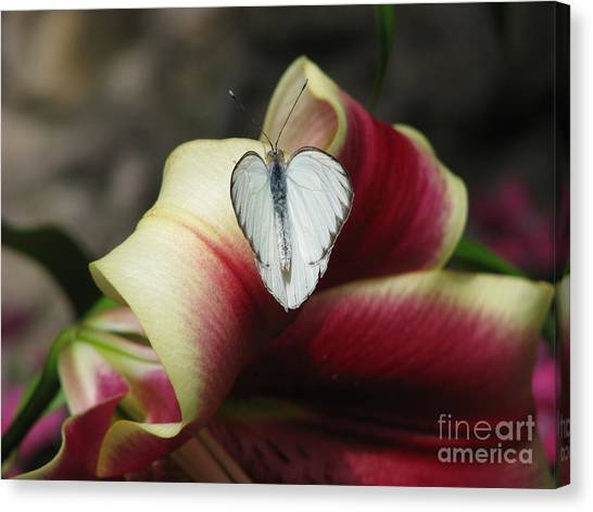 Lily's Lover Canvas Print