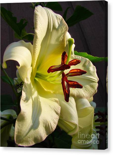 Lily's Morning Canvas Print