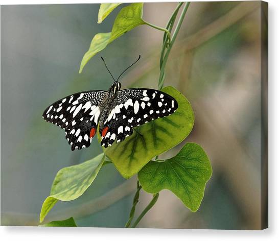 Canvas Print featuring the photograph Lime/chequered Swallowtail Butterfly by Paul Gulliver