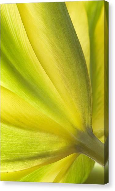 Lime Tulip Canvas Print