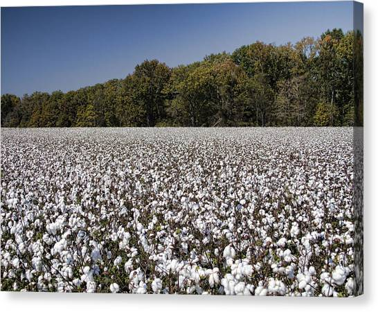 Limestone County Alabama Cotton Crop Canvas Print