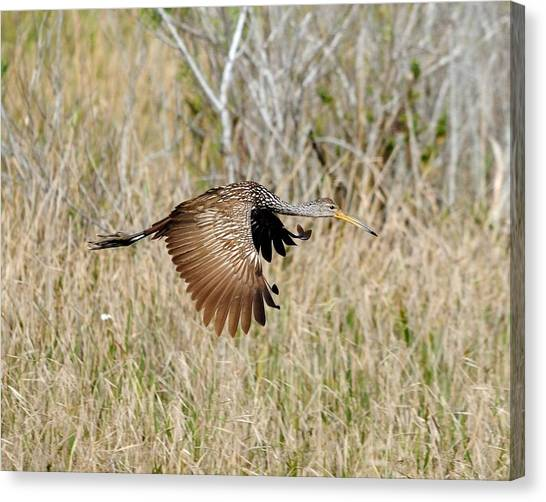 Limpkin In Flight Canvas Print by John R Young Jr