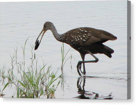 Limpkin With Shellfish Canvas Print