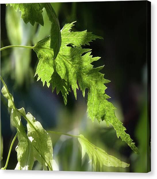Linden Leaf - Canvas Print