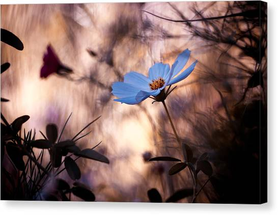 Cosmos Flower Canvas Print - Indifference by Fabien Bravin