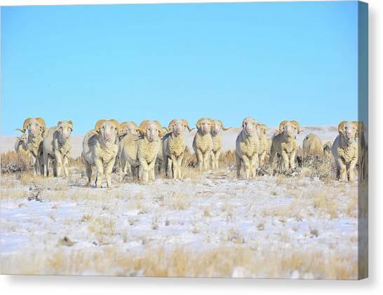Line Em Up Rams Canvas Print