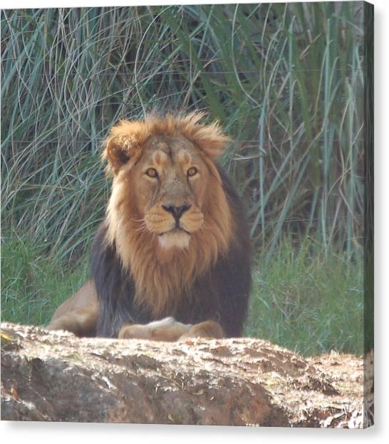 Canvas Print - Lion 1 by Susan Heller