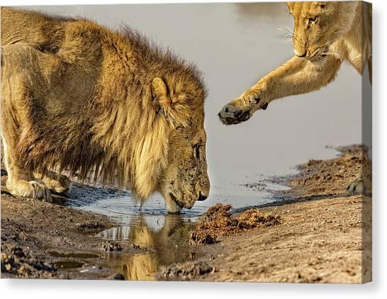 Lion Affection Canvas Print