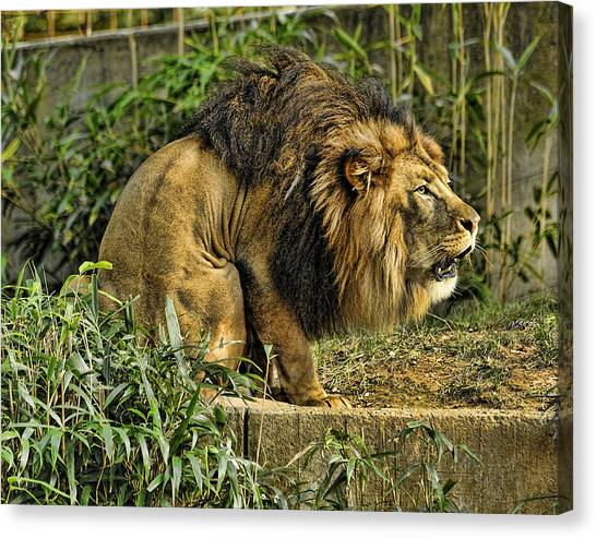 Lion Calling Females Canvas Print by Keith Lovejoy