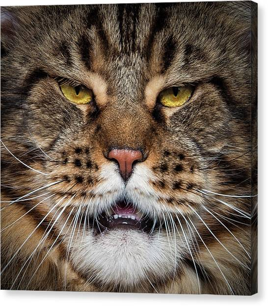 Canvas Print featuring the photograph Tiger Face. by Robert Sijka