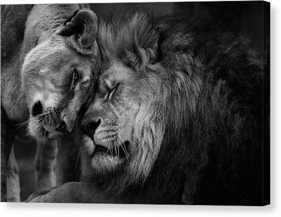 Lion In Love 2 Canvas Print