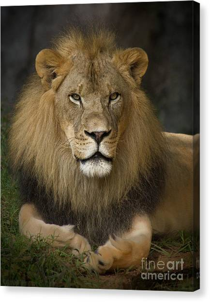 Lions Canvas Print - Lion In Repose by Warren Sarle