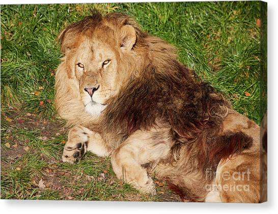 Canvas Print featuring the photograph Lion Resting In The Sun by Nick Biemans