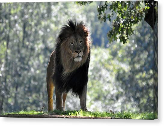 Lion Series 3 Canvas Print by Teresa Blanton