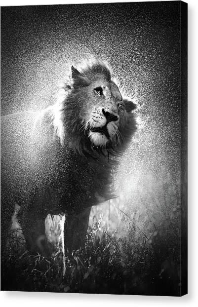 South Africa Canvas Print - Lion Shaking Off Water by Johan Swanepoel