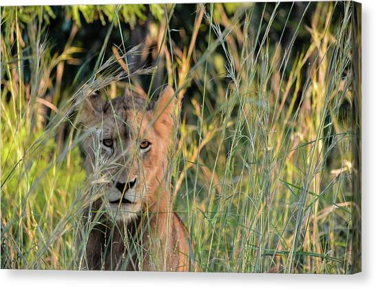 Lion Warily Watching Canvas Print