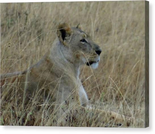 Explorason Canvas Print - Lioness In The Grass by Exploramum Exploramum