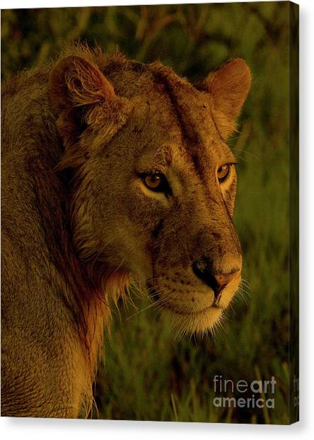 Lioness-signed-#6947 Canvas Print