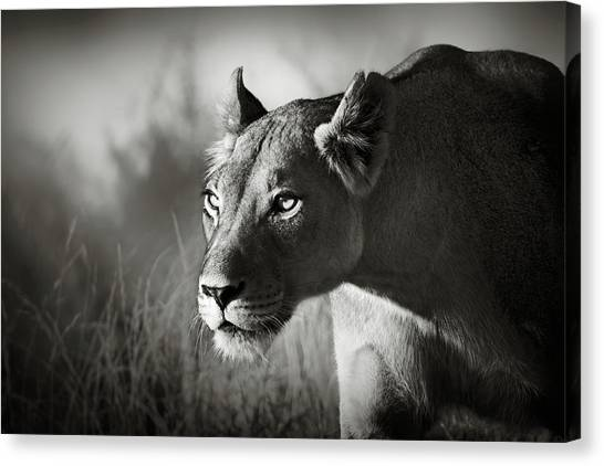 Lions Canvas Print - Lioness Stalking by Johan Swanepoel