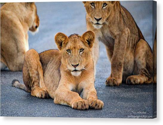 Lions Stare Canvas Print