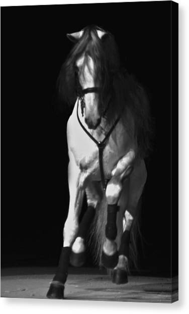 Canvas Print featuring the photograph Lipizzan 1 by Catherine Sobredo
