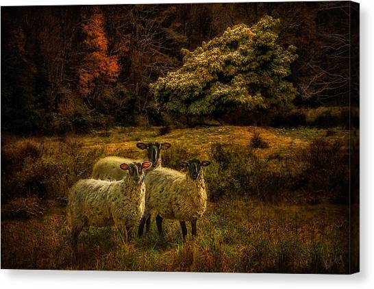 Linda King Canvas Print - Listening Sheep 1282 by Linda King