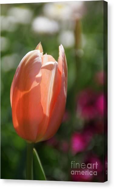 Lit Tulip 01 Canvas Print