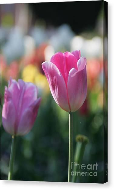 Lit Tulip 05 Canvas Print