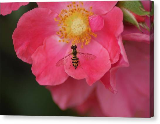 Little Bee Canvas Print by Heather Green