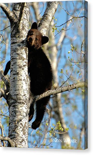 Minnesota Wild Canvas Print - Little Black Bear by Joan Wallner