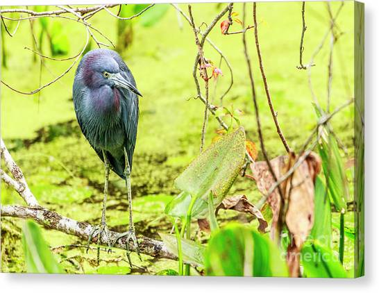 Little Blue Heron At Ollie's Pond Canvas Print
