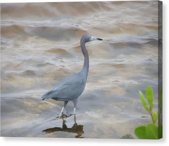 Little Blue Heron Canvas Print by Jeanette Oberholtzer