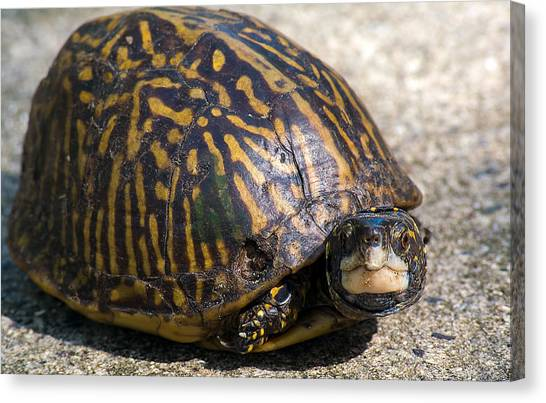 Box Turtles Canvas Print - Little Box Turtle by Kenneth Albin