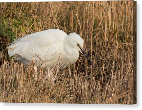 Little Egret Concentrating Canvas Print