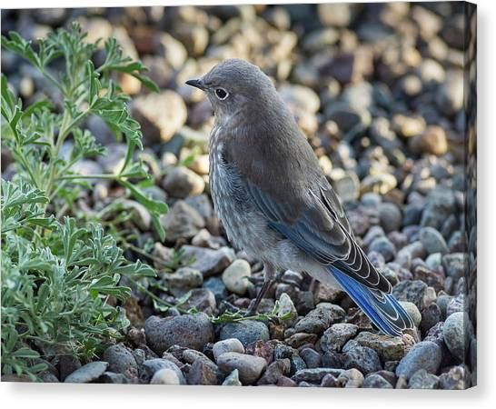 Canvas Print featuring the photograph Little Fledgling Mountain Bluebird by John Brink