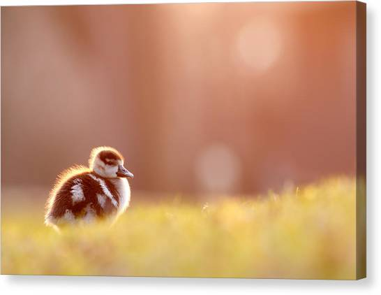 Baby Bird Canvas Print - Little Furry Animal - Gosling In Warm Light by Roeselien Raimond