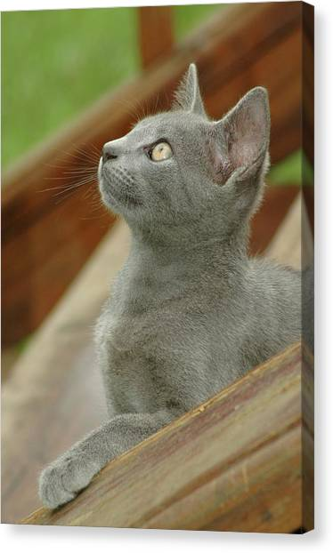 Little Gray Kitty Cat Canvas Print