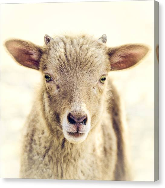 Baby Canvas Print - Little Lamb by Humboldt Street