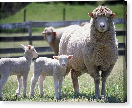 Little Lambs Canvas Print