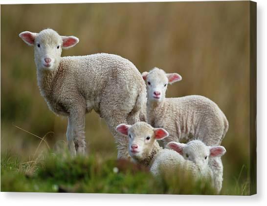 Sheep Canvas Print - Little Lambs by Ronai Rocha