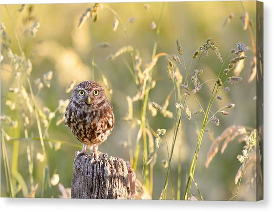 Perching Birds Canvas Print - Little Owl Big World by Roeselien Raimond