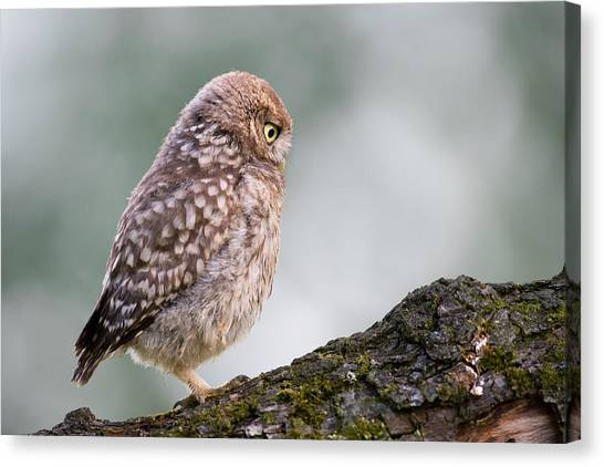 Owls Canvas Print - Little Owl Chick Practising Hunting Skills by Roeselien Raimond