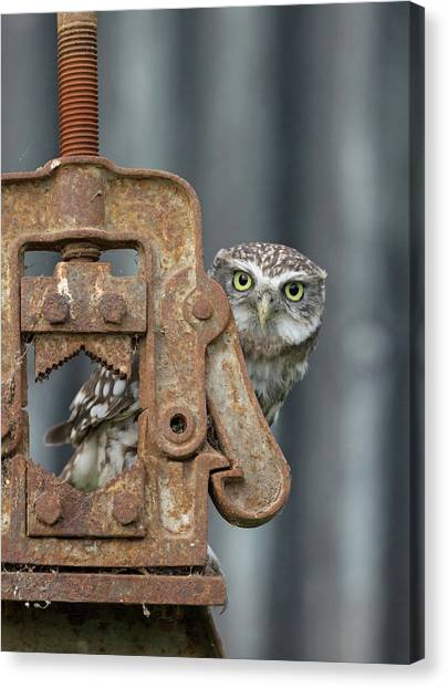 Little Owl Peeking Canvas Print