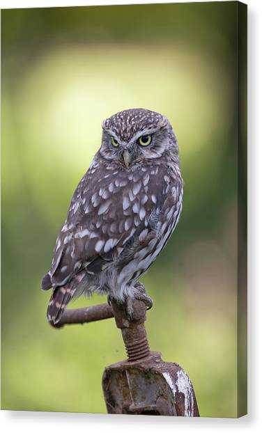 Little Owl Pipe Bender Canvas Print