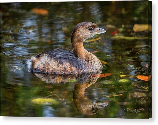 Canvas Print featuring the photograph Little Pied-billed Grebe by David A Lane