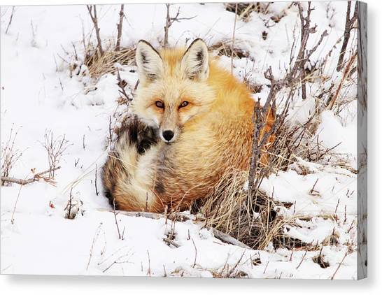 Little Red Fox Canvas Print