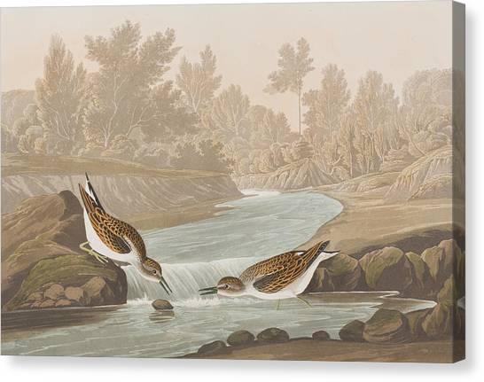 Sandpipers Canvas Print - Little Sandpiper by John James Audubon