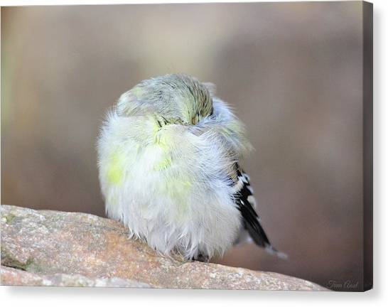 Little Sleeping Goldfinch Canvas Print