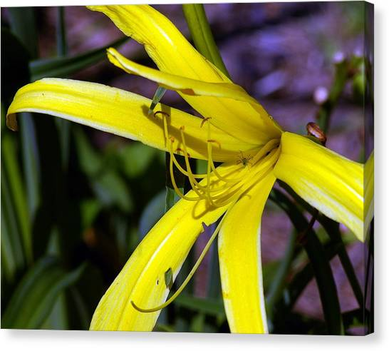 Little Spider Canvas Print by Don Prioleau
